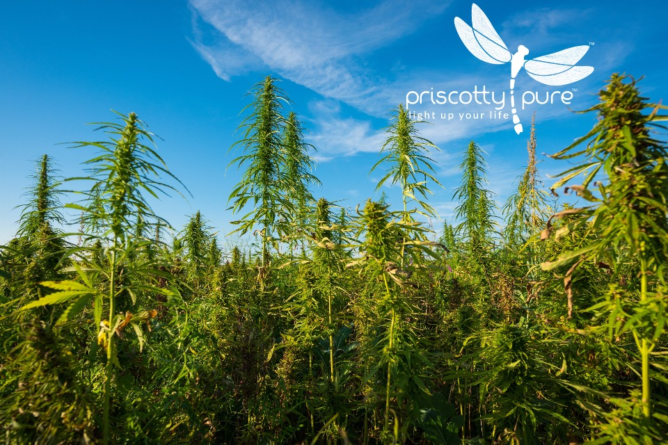 Priscotty Pure Hemp Farm